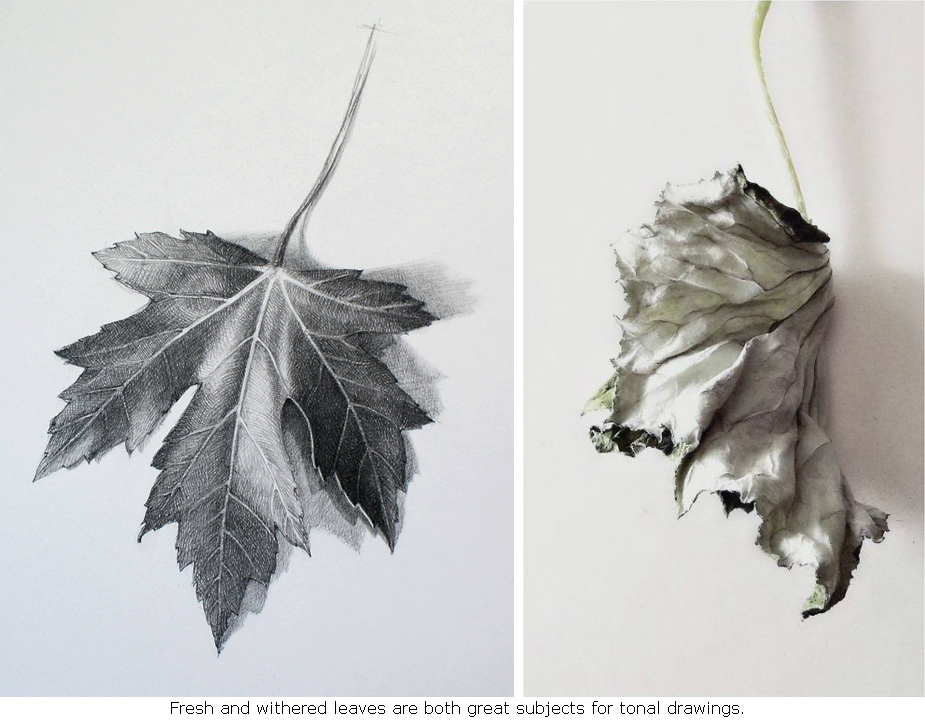 Maple-Leaf-fresh-crumpled